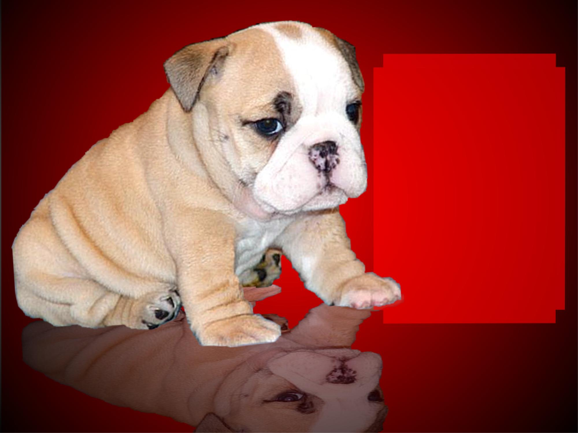 English Bulldog Stud Service Bulldog Puppies For Sale Bulldog Stud